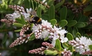 Hebe & bumblebee