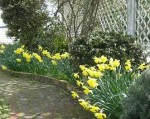 Daffodil array; via my garden ;-)