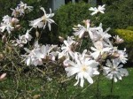 Magnolia stellata
