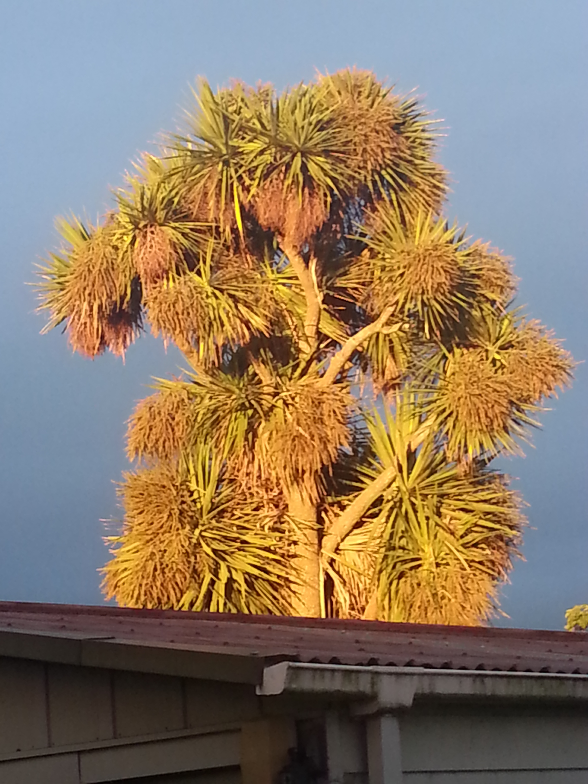 cabbage tree 1