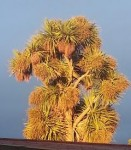 Cordyline australis - a NZ cabbage tree