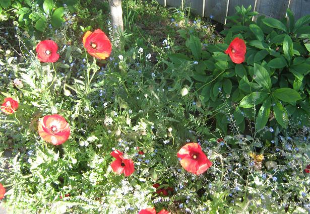 Peak Poppies 004b