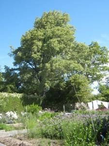 A Christchurch variegated elm