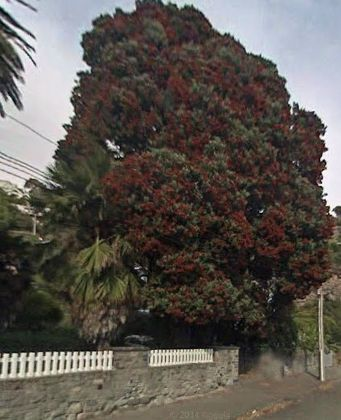 Pohutukawa, Clifton Bay, Sumner: still not saved.