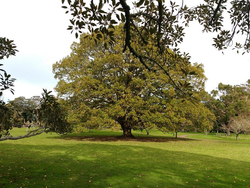 Algerian oak_2a