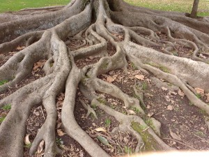 Moreton Bay Fig Roots